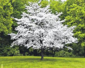 Dogwood Trees - Fertilizing Process