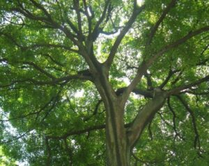 Six Indigenous Trees to Plant in Iowa